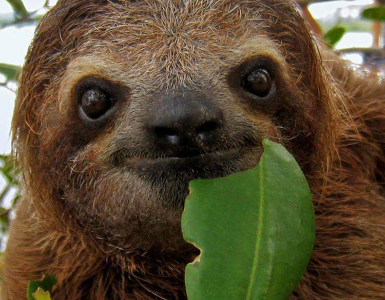 Supper with a sloth, sloth eating a leaf